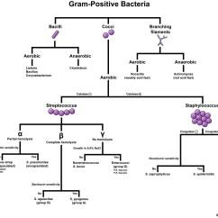 Morphology Tree Diagram Ford Focus 2002 Stereo Wiring Gram Positive Bacteria Microbiology Medbullets Step 1
