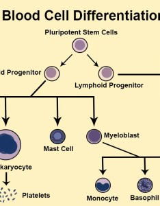This illustration highlights the basic development of various blood cells from hematopoietic stem introduction immune system also immunology medbullets step rh step dbullets
