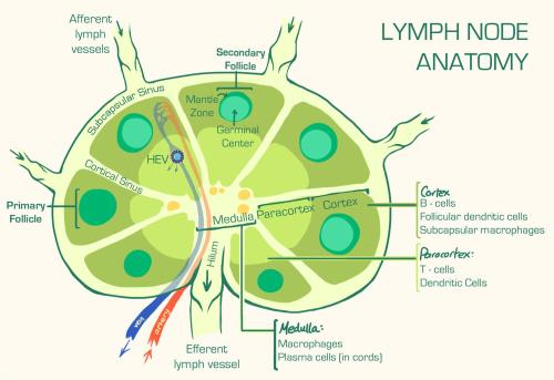small resolution of lymph nodes