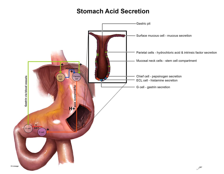 Gastric Secretion - Gastrointestinal - Medbullets Step 1