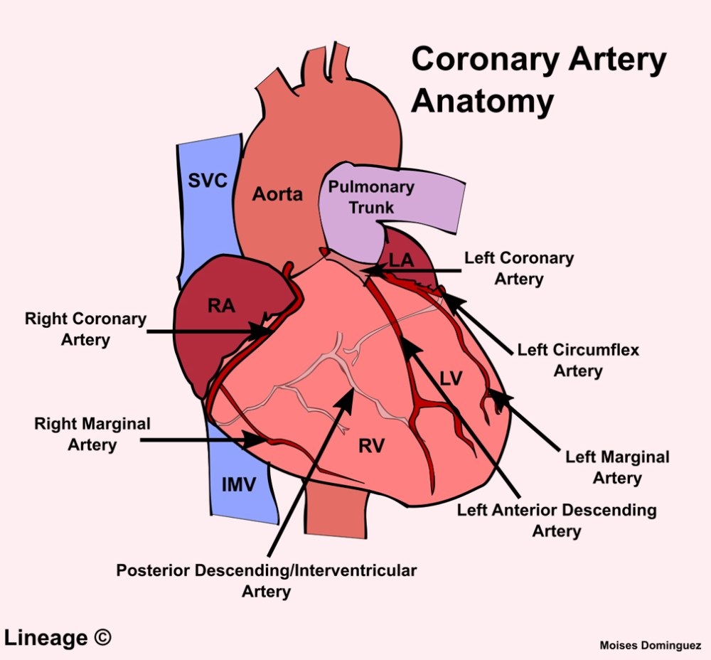 medium resolution of 12 lead diagram artery