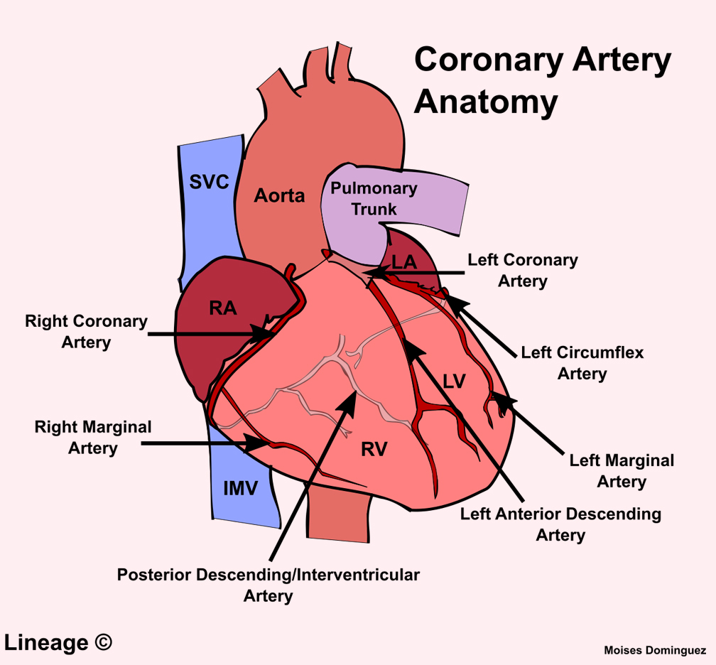 hight resolution of 12 lead diagram artery