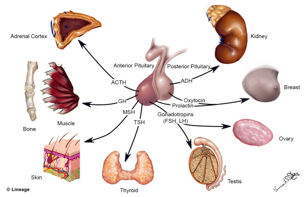 medium resolution of overview overview pituitary