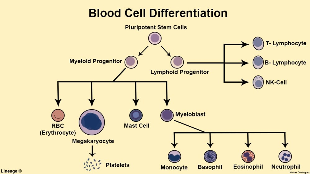 medium resolution of blood cell differentiation