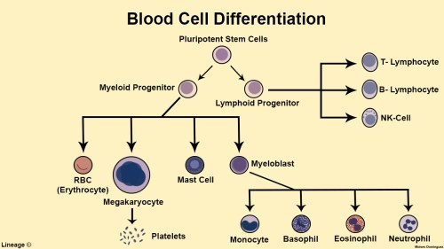 small resolution of blood cell differentiation
