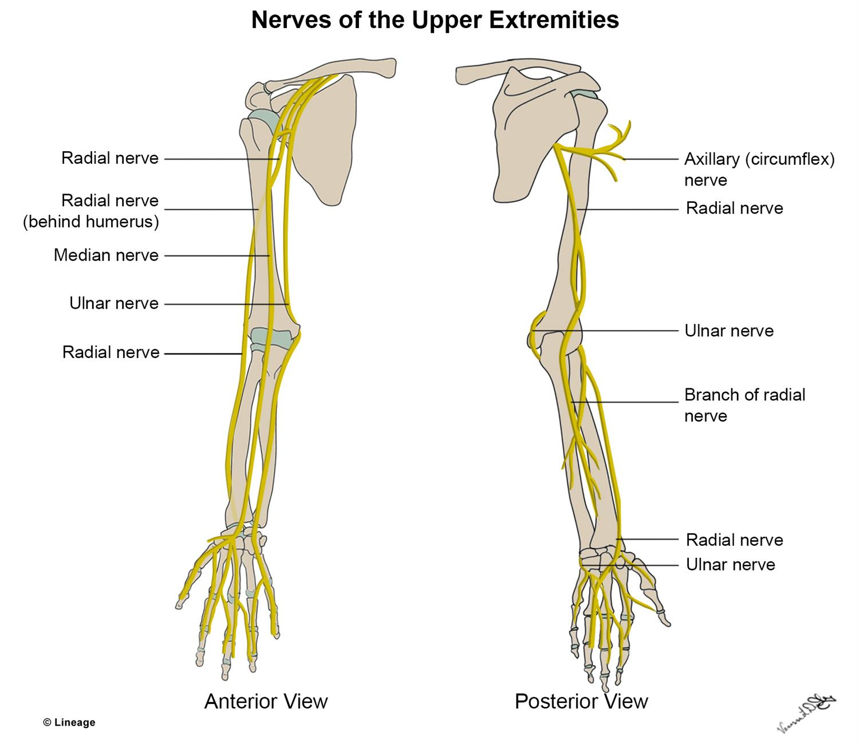 ulnar nerve diagram how to draw architecture upper extremity nerves msk medbullets step 1