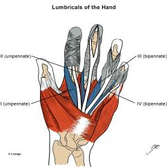 Hand Muscles Diagram B16a Obd0 Wiring Intrinsic Msk Medbullets Step 1 There Are 4 Lumbrical Of The