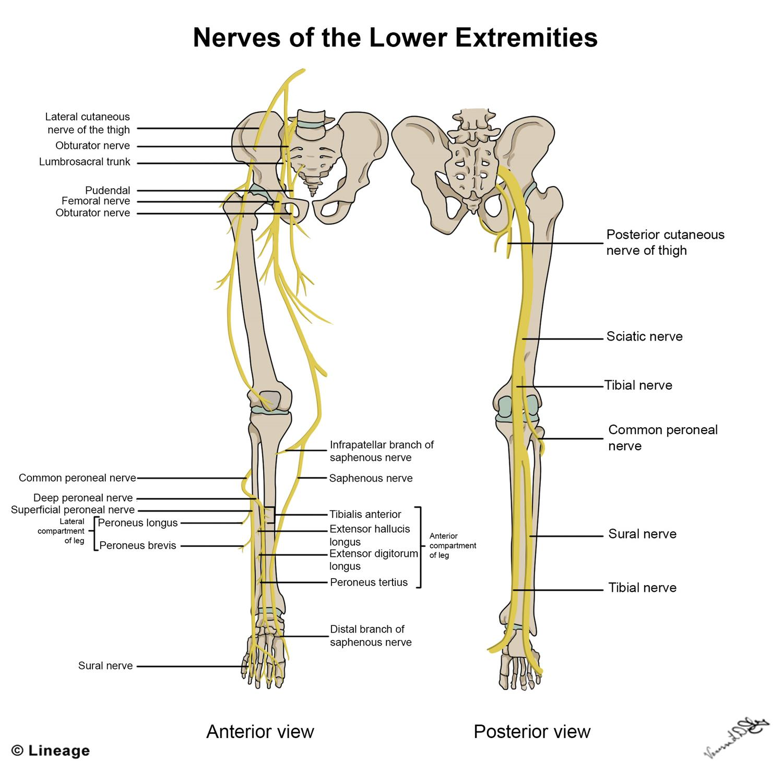 lower leg nerve diagram fpv gauge wiring extremity jangan lupa persenannya