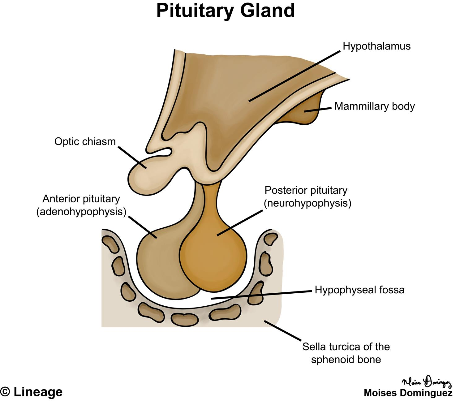 hight resolution of posterior pituitary