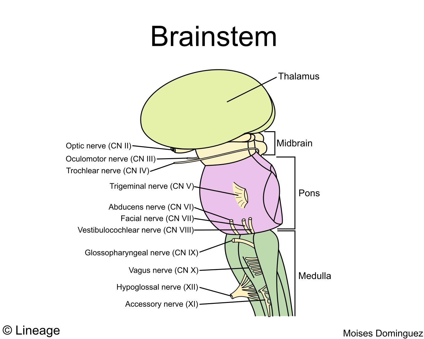 brain diagram pons 2005 660 raptor wiring brainstem neurology medbullets step 1