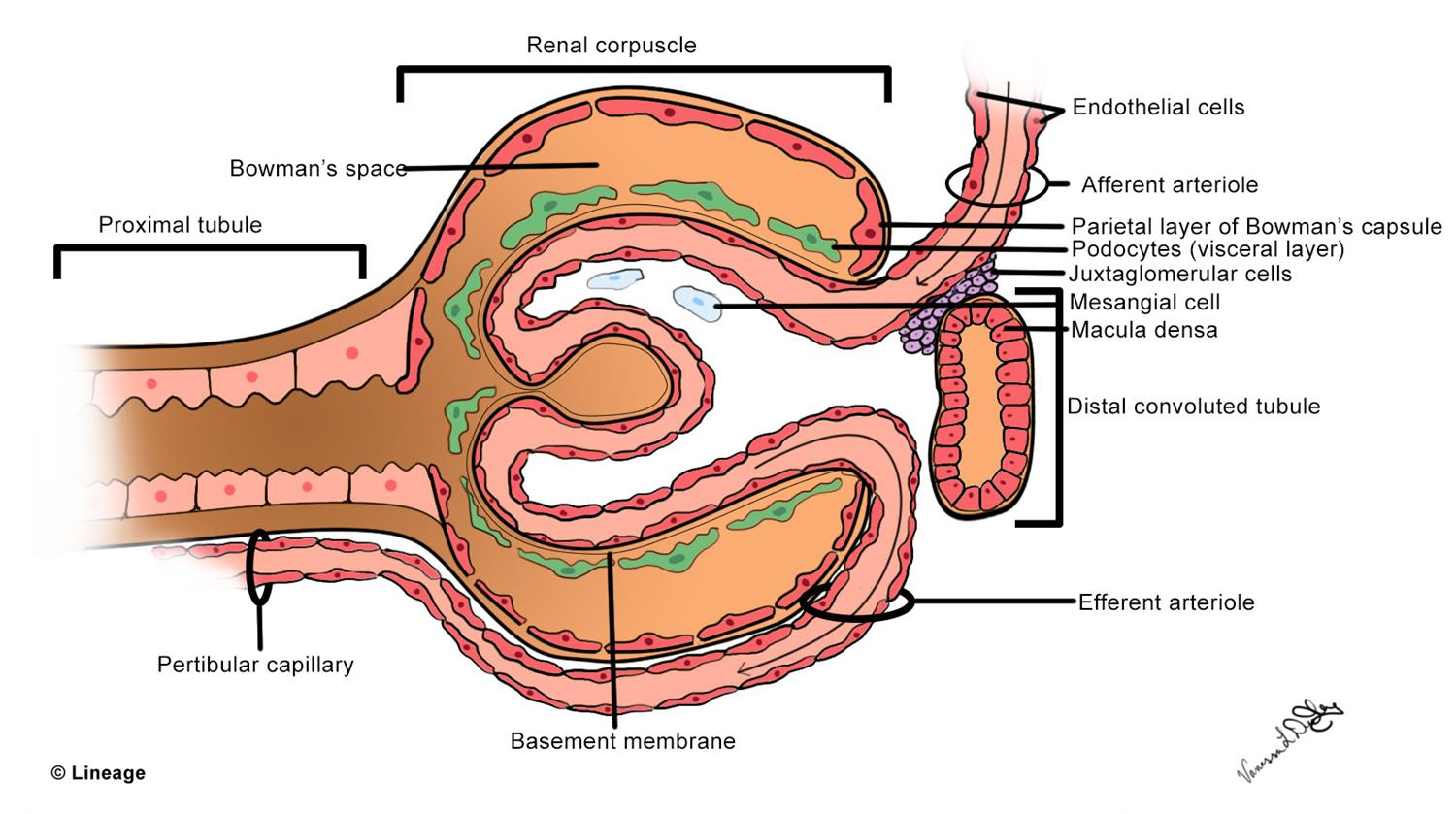 bowman s capsule diagram double wall switch wiring glomerular filtration rate gfr renal medbullets step 1