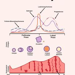 Menstrual Cycle Diagram With Ovulation Tropical Rainforest Layers Reproductive Medbullets Step 1