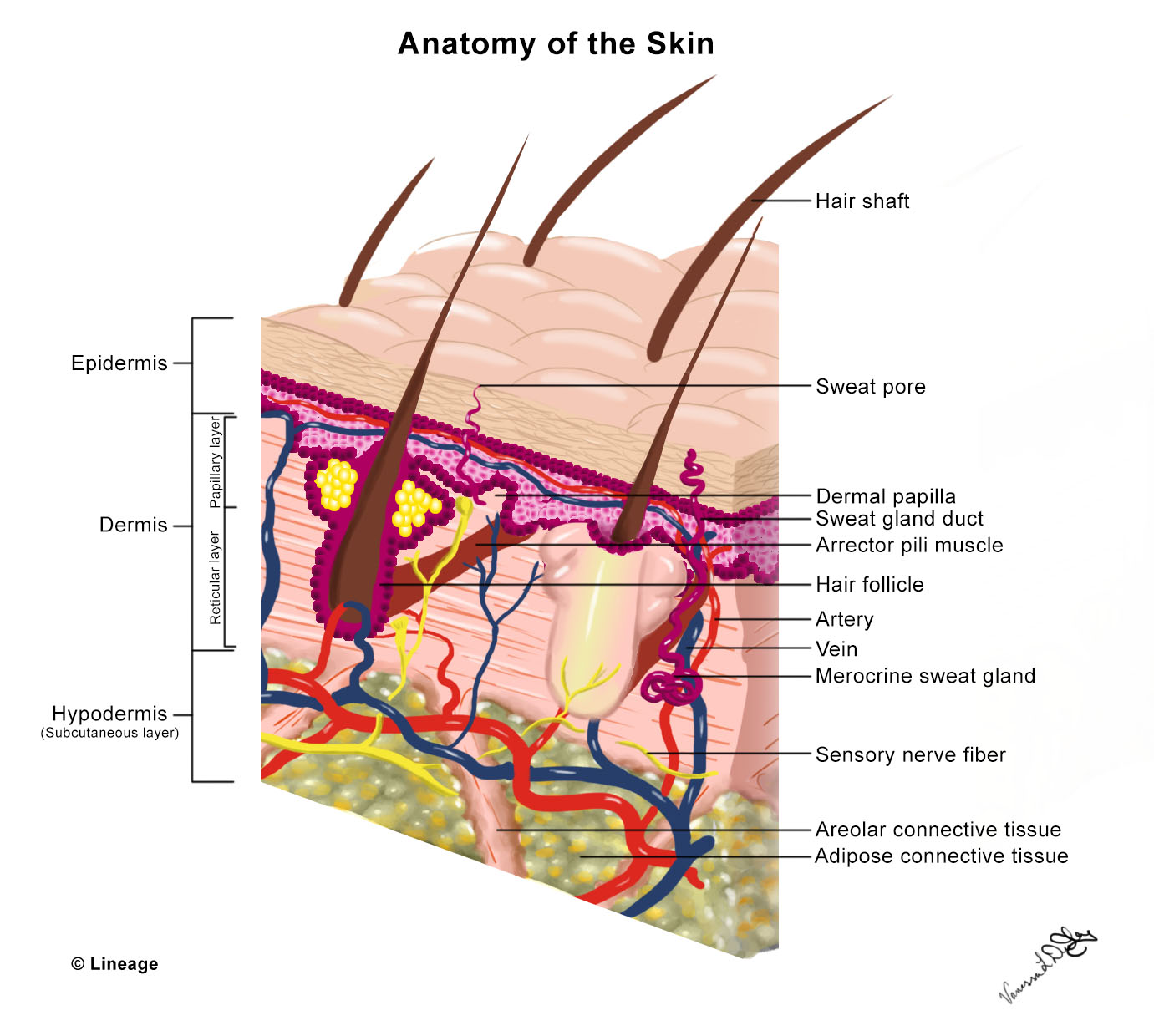 hight resolution of skin anatomy and wound healing
