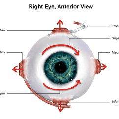 Diagram Of The Left Eye Speaker Wiring Diagrams Muscles Ophthalmology Medbullets Step 2 3
