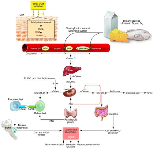basic carbon cycle diagram yokoyama control transformer wiring pth & vit d physiology - science orthobullets