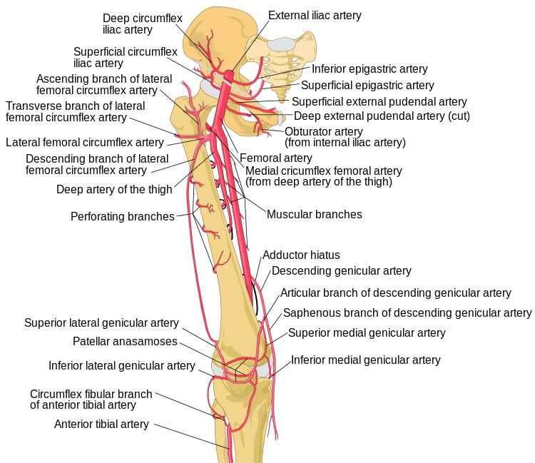 vastus lateralis - anatomy - orthobullets - diagram of thigh