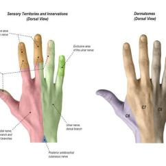 Hand Nerves Diagram 4 Wire Ignition Switch Bypass Superficial Radial Nerve Anatomy Orthobullets Sensory