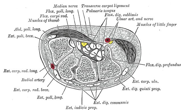 ulnar nerve diagram ice maker wiring anatomy orthobullets the and artery pass superficial to transverse carpal ligament