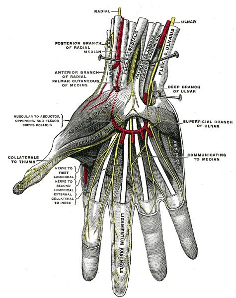 ulnar nerve diagram stress strain diagrams for engineering materials anatomy orthobullets the and artery pass superficial to transverse carpal ligament bifurcates into sensory deep motor branches in guyon s canal
