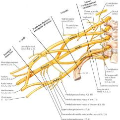 Ulnar Nerve Diagram Wiring For Nest Thermostat Uk Anatomy Orthobullets Comes From The Medial Cord Of Brachial Plexus C8 T1