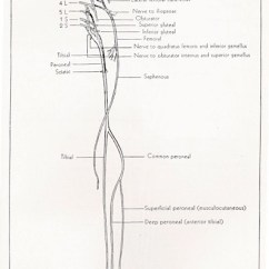 Lower Leg Nerve Diagram Structure Of Long Bone Superficial Peroneal - Anatomy Orthobullets