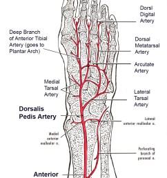 arcuate artery [ 942 x 1319 Pixel ]