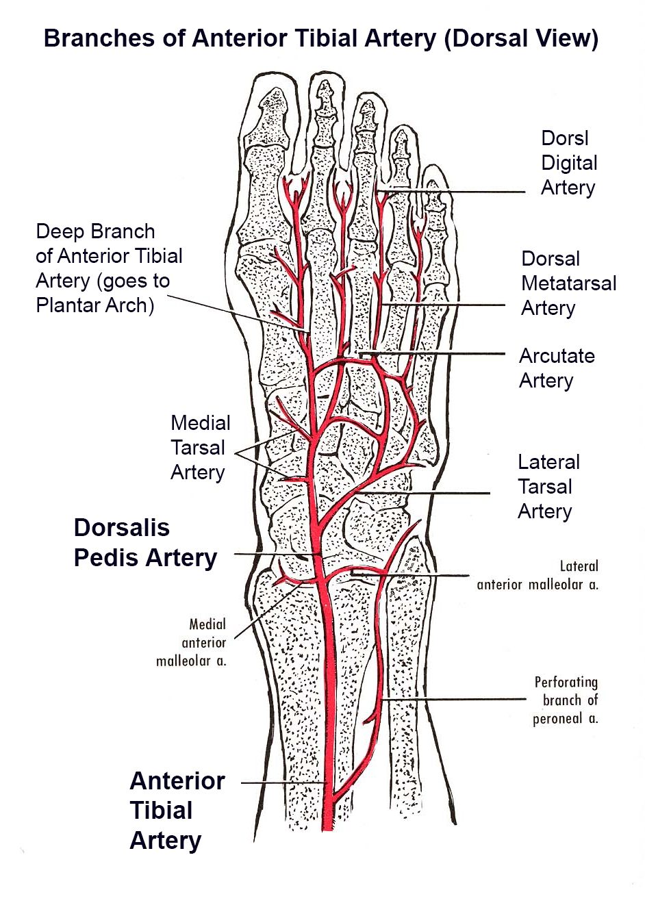 foot pulses diagram left bundle branch block heart blood supply to the - & ankle orthobullets