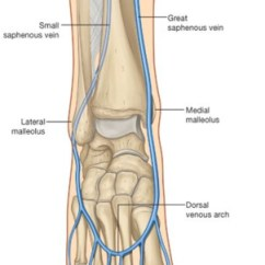 Veins In The Foot Diagram 2002 Kia Spectra Engine Blood Supply To Ankle Orthobullets Greater And Lesser Saphenous Venous Systems