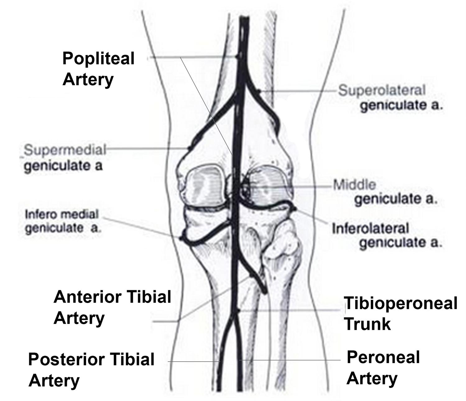 Major Artery In Thigh Anatomy 02 02