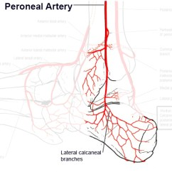 Vascular Anatomy Diagram Lower Blank Theatre Stage Blood Supply To The Foot Ankle Orthobullets
