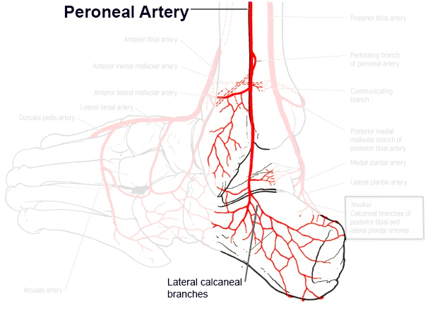 foot pulses diagram boat dual battery wiring blood supply to the ankle orthobullets