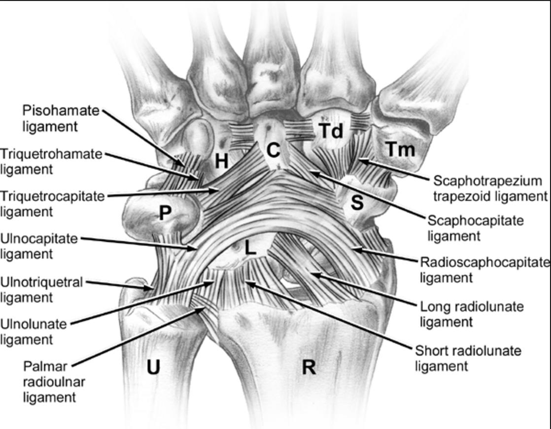 Wrist Ligaments Amp Biomechanics