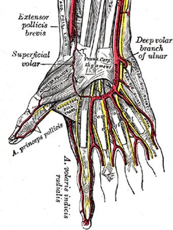 hand nerves diagram blank guitar neck blood supply to orthobullets anatomy