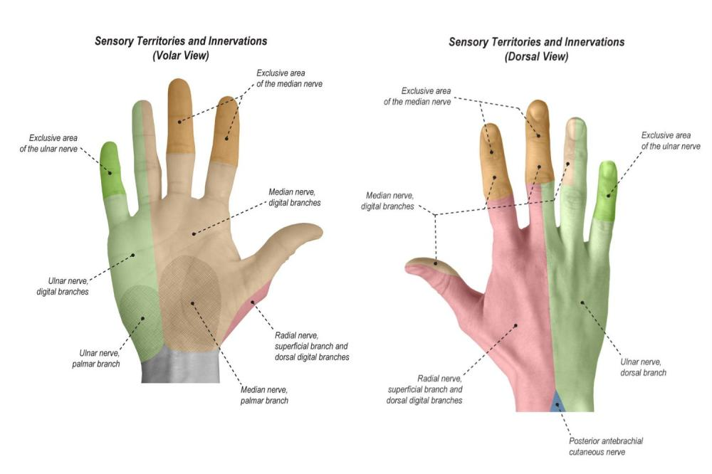 medium resolution of sensation sensory territories and innervations of the hand