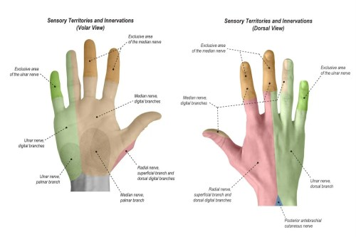 small resolution of sensation sensory territories and innervations of the hand