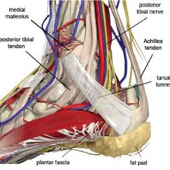 Veins In The Foot Diagram 36 Volt Battery Wiring Tarsal Tunnel Syndrome And Ankle Orthobullets