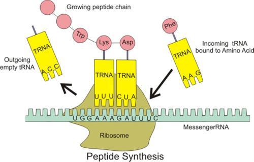 small resolution of dna translation diagram ribosome