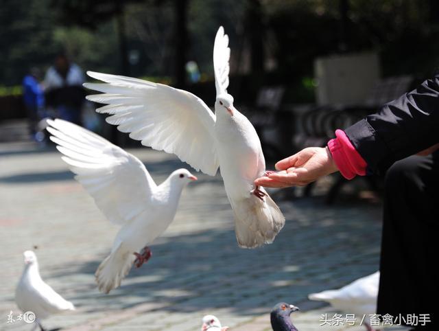 高手講解鴿子經常拉水便的八大原因