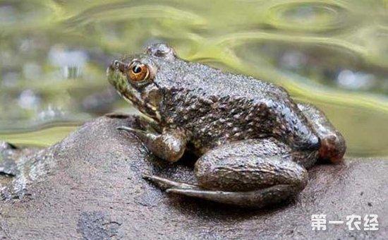牛蛙的種類有哪些?牛蛙品種圖片大全-養殖技術