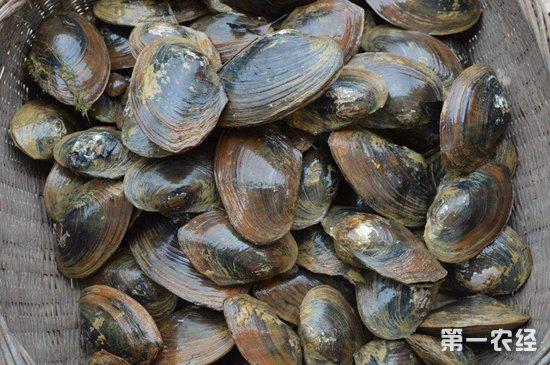 河蚌的人工繁殖技術-水產養殖