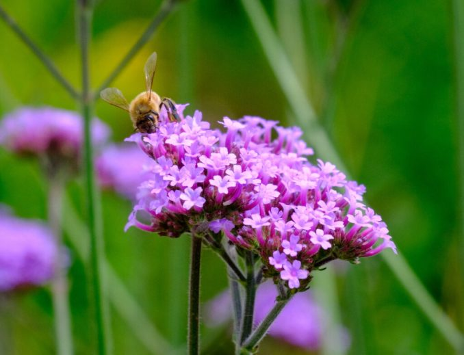 Close up of a purple flower and bee at The Oregon Garden.