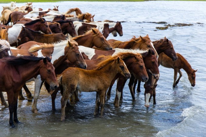 A herd of the wild ponies of Chincoteague Island at the water's edge.