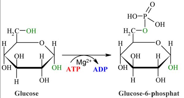 Lehrbuch der Biochemie: Stoffwechsel: Glycolyse