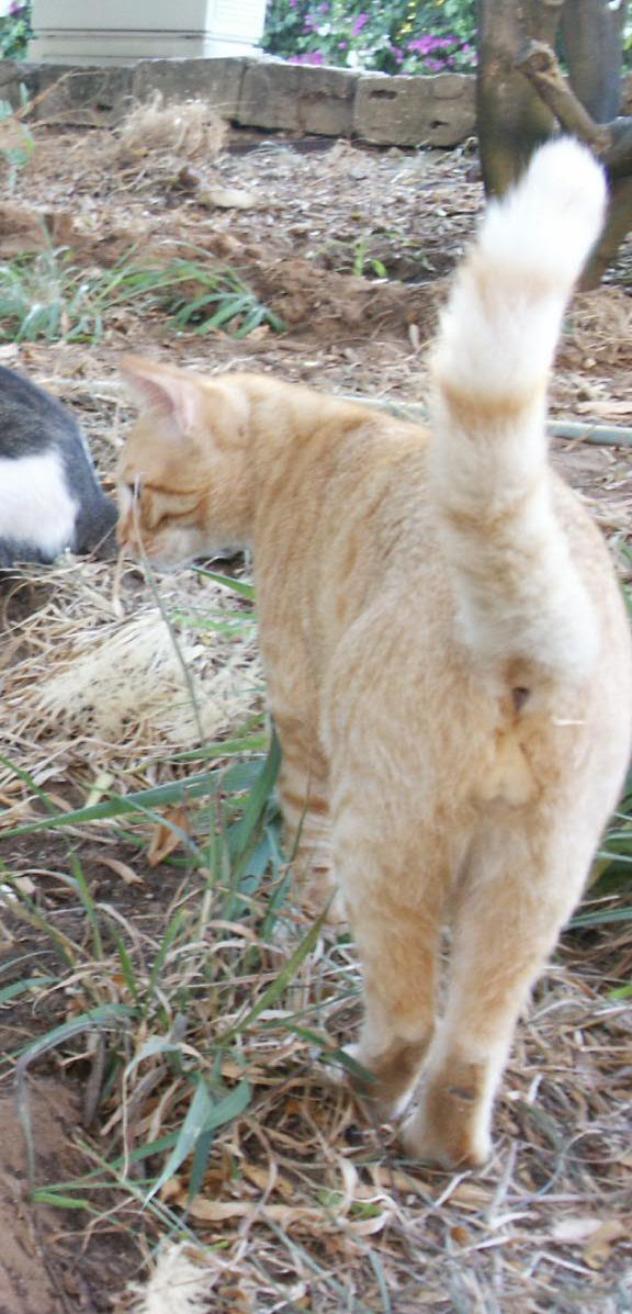 אחוריו של חתול