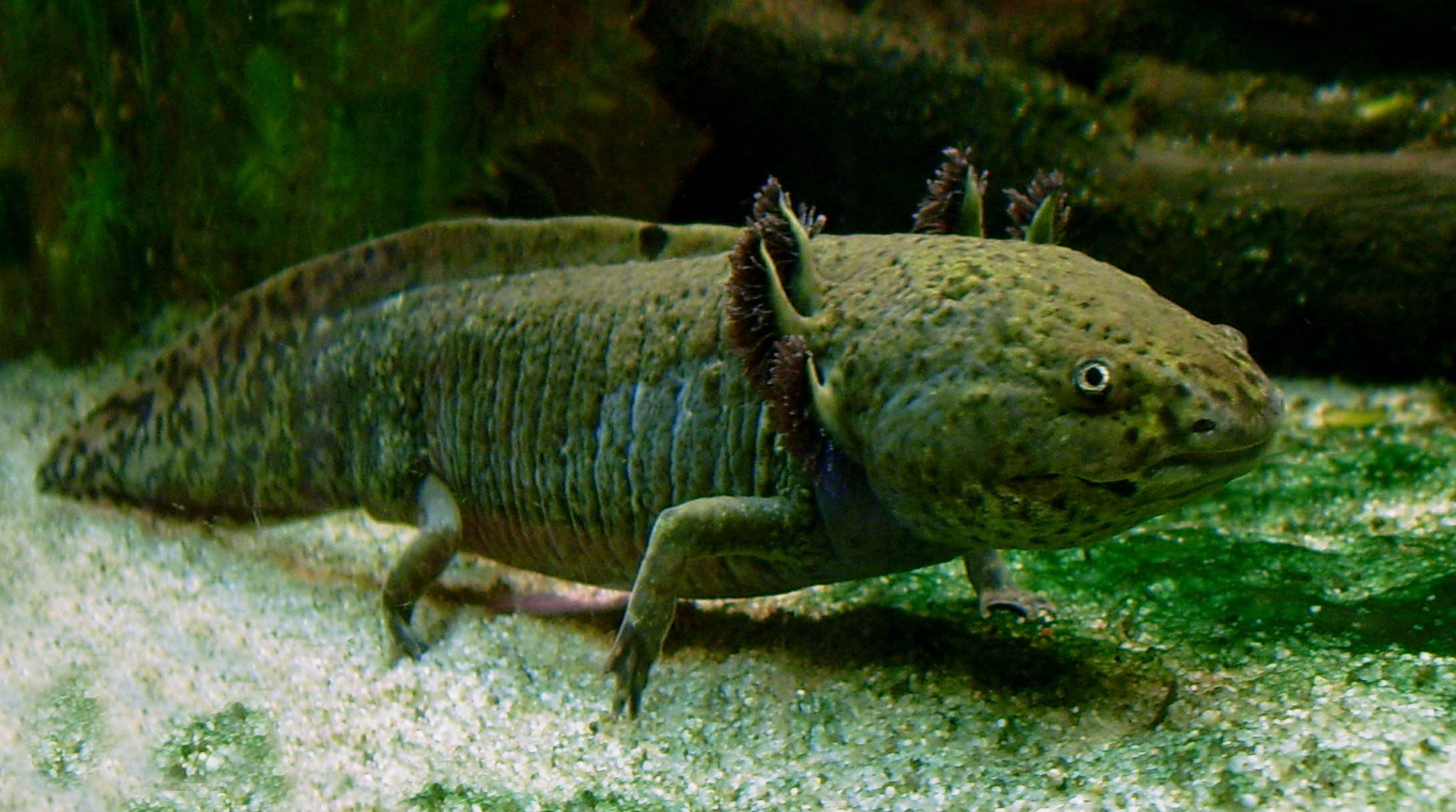 Fileaxolotl Ganzjpg  Wikimedia Commons