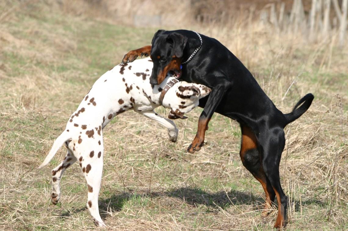 Dalmatian and Dobermann fight Pitbull Dog White