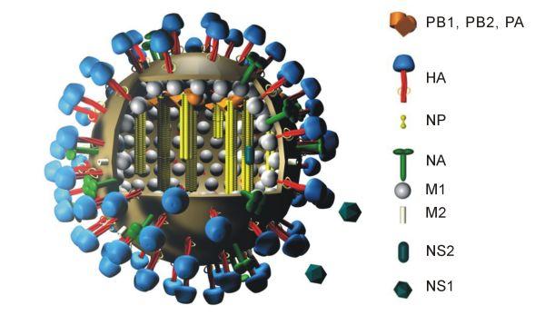 Virus de Influenza A subtipo H1N1