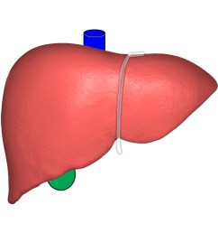 file liver anterior view with surrounding structures jpg [ 913 x 936 Pixel ]
