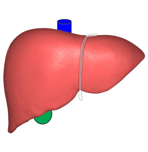 small resolution of file liver anterior view with surrounding structures jpg
