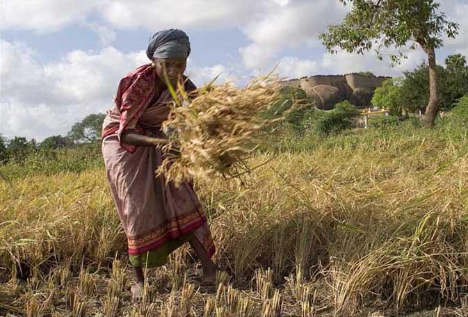 File:Manual harvest in Tirumayam.jpg